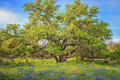 Photograph - Texas Bluebonnets Under A Giant Oak Tree by Lynn Bauer