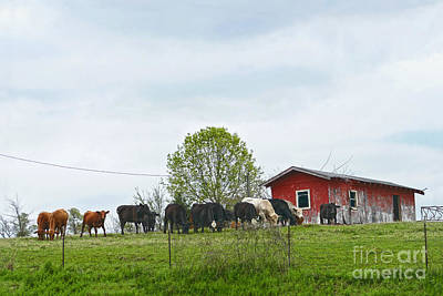 Photograph - Texas Cattle And Old Red Barn by Catherine Sherman