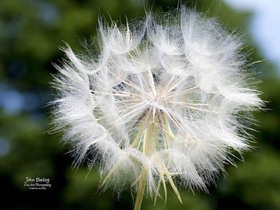 Dandelion Digital Art - Texas Dandelion by John Bailey