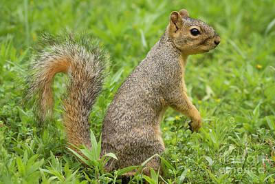 Photograph - Texas Fox Squirrel by David Cutts