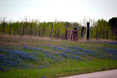 Wall Art - Photograph - Texas Highway Bluebonnets by Carolyn Hebert