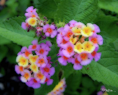Photograph - Texas Lantana #4165 by Barbara Tristan