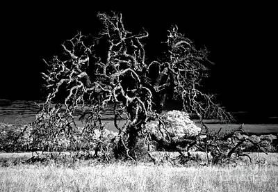 Photograph - Texas Live Oak by Erik Poppke