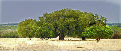 Photograph - Texas Live Oaks by Susan Crossman Buscho