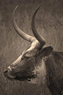 Longhorn Photograph - Texas Longhorn by Paul Huchton