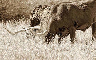 Photograph - Texas Longhorn Steers Grazing Sepia by Jennie Marie Schell