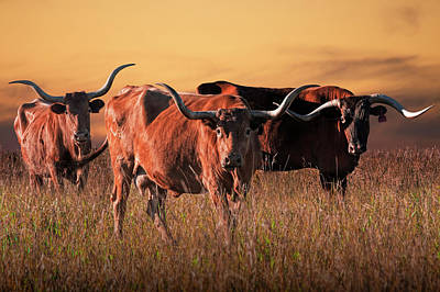 Photograph - Texas Longhorn Steers by Randall Nyhof