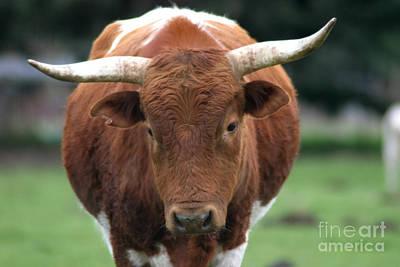 Texas Longhorn Cow Photograph - Texas Longhorn by Robert  Torkomian