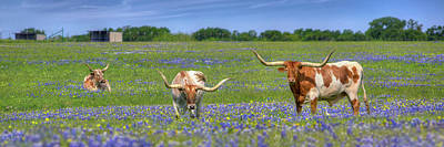 Longhorn Bluebonnet Photograph - Texas Longhorns In Bluebonnets Panorama by Rob Greebon