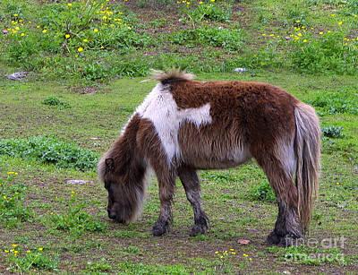 Texas Miniature Horse Original by Linda Phelps