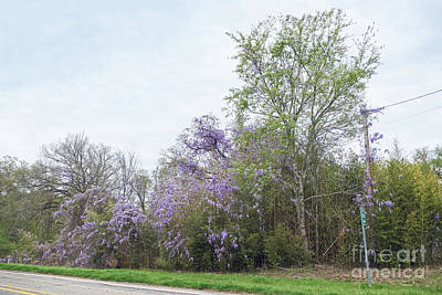 Photograph - Texas Roadside Wisteria In Bloom by Catherine Sherman
