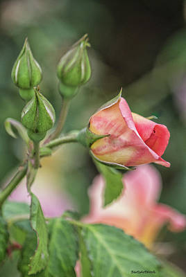 Photograph - Texas Rose 2 by Roberta Byram