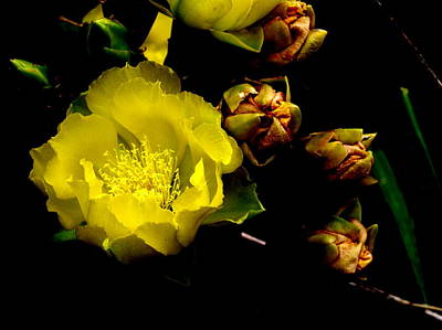 Photograph - Texas Rose Vi by James Granberry