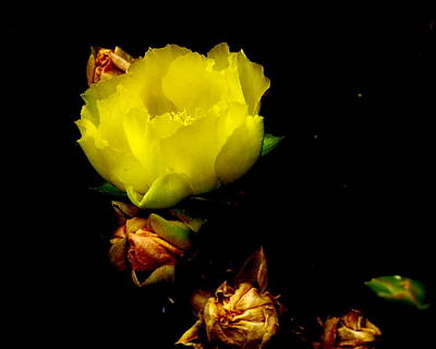 Photograph - Texas Rose Viiii by James Granberry