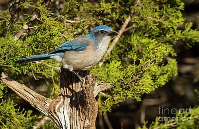 Photograph - Texas Scrub Jay  by David Cutts