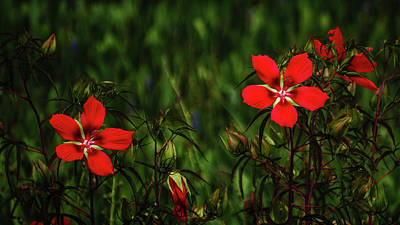 Photograph - Texas Star Hibiscus Delray Beach Florida by Lawrence S Richardson Jr