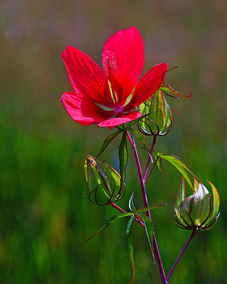 Photograph - Texas Star Hibiscus by Lawrence S Richardson Jr