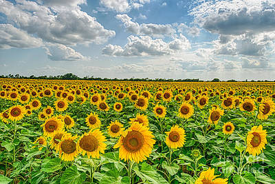 Sunflower Fields Photograph - Texas Sunflowers  by Tod and Cynthia Grubbs