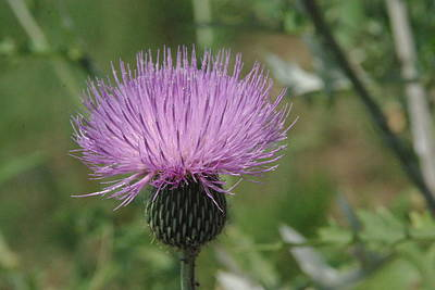 Photograph - Texas Thistle by Robyn Stacey