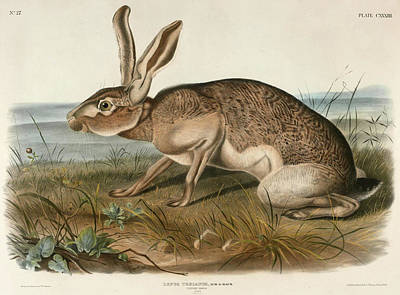 Drawing - Texian Hare. Lepus Texianus by John Woodhouse Audubon