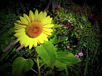 Photograph - Texture Drama Garden Sunflower by Aimee L Maher ALM GALLERY