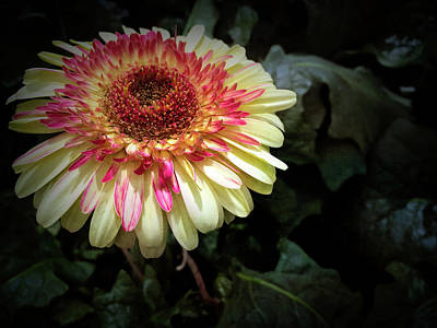 Photograph - Texture Drama Gerbera Daisy by Aimee L Maher ALM GALLERY