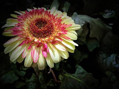 Photograph - Texture Drama Gerbera Daisy by Aimee L Maher Photography and Art Visit ALMGallerydotcom