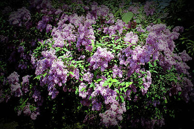 Photograph - Texture Drama Lilac Bushes by Aimee L Maher ALM GALLERY
