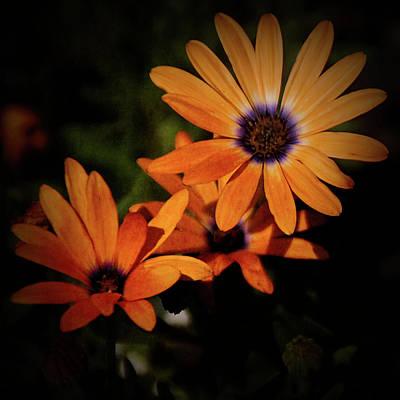 Photograph - Texture Drama Orange Daisy by Aimee L Maher Photography and Art Visit ALMGallerydotcom