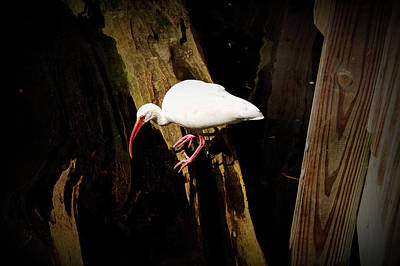 Photograph - Texture Drama White Ibis Bird by Aimee L Maher ALM GALLERY