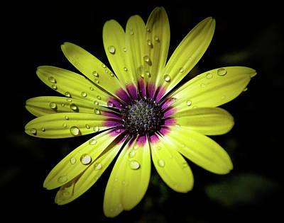 Photograph - Texture Drama Yellow Daisy by Aimee L Maher Photography and Art Visit ALMGallerydotcom