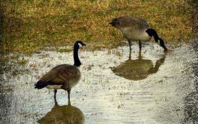 Photograph - Texture Geese Couple by Kathy Barney