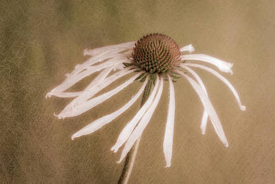 Photograph - Textured Coneflower by James Barber