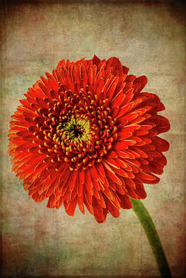 Photograph - Textured Red Daisy by Garry Gay