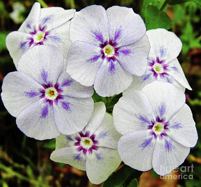 Photograph - Textured White Phlox by D Hackett