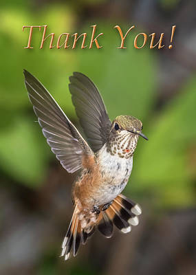 Thank You - Female Rufous Hummingbird  Art Print