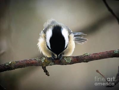 Photograph - Thankful Chickadee by Cheryl Baxter