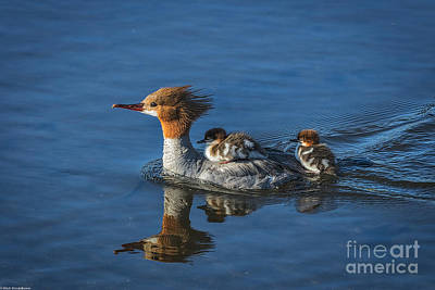Common Merganser Wall Art - Photograph - Thanks Mom  by Mitch Shindelbower