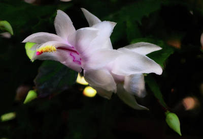 Photograph - Thanksgiving Cactus 006 by George Bostian
