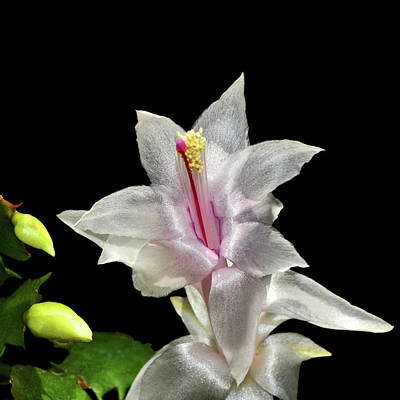 Photograph - Thanksgiving Cactus 008 by George Bostian