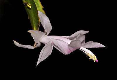 Photograph - Thanksgiving Cactus 010 by George Bostian