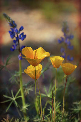 Photograph - That Golden Poppy Glow  by Saija Lehtonen