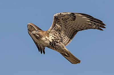 Photograph - That Hawk Look by Loree Johnson
