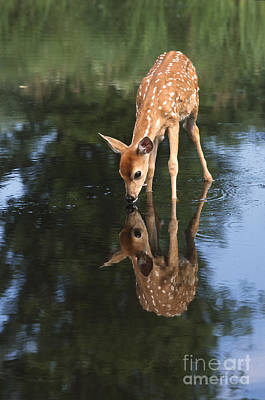 White Tail Deer Photograph - That Must Be Me by Sandra Bronstein