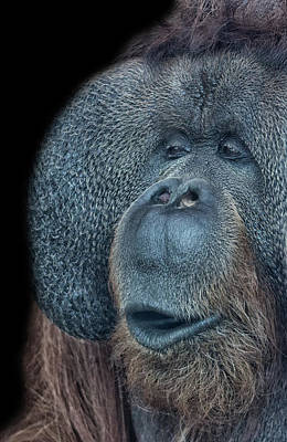 Orangutan Photograph - That Oooh Moment by Martin Newman