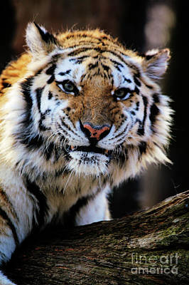 Photograph - That Tiger Look by Karol Livote