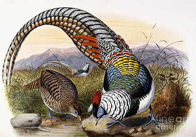 Pheasant Wall Art - Painting - Thaumalea Amherstiae by Joseph Wolf and Johan Gerard Keulemans