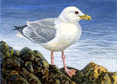 Painting - Thayer's Gull Aceo by Shari Erickson