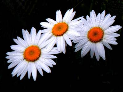 Photograph - 3 Daisies by Wild Thing