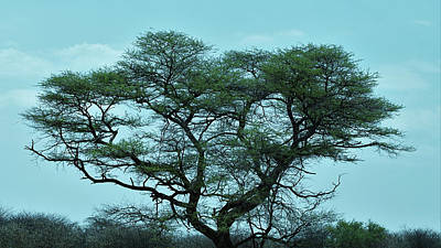 Photograph - The Acacia Tree 2 by Ernie Echols